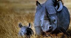 Black rhinoceros mother with calf in Ngorongoro Crater, Ngorongoro Conservation Area, Tanzania -- Frans Lanting/Corbis National Geographic, Frans Lanting, Save The Rhino, Baby Rhino, Rare Animals, Wild Animals, Wildlife Art, Endangered Species, Tanzania