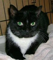 IN NEED OF A FOREVER HOME! MissDenise is an adoptable Domestic Short Hair-Black And White Cat in Sayreville, NJ. Miss Denise is a 3-year-old spayed female black and white cat with a bright white bib and a tiny white star on her...http://www.petfinder.com/petdetail/10071310