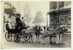 Reason #14 why the world used to be cooler...zebras pulled carriages.