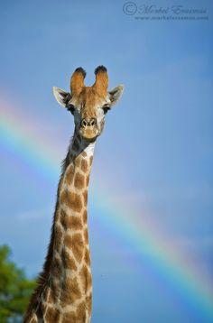 Technicolor Giraffe by Morkel Erasmus