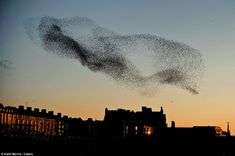 At least 50,000 starlings are thought to make up the murmurations above the Aberystwyth Royal Pier, in Wales. Photo Keith Morris