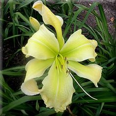 """HEAVEN WAITS FOR ME (Shooter) 2007 (Seedling X Seedling)  33"""" EM Re Noc Ext UFO SEV 10"""" DIPLOID  An exquisite, diamond dusted pale yellow wi..."""