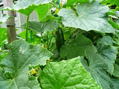 GROWING CUCUMBERS.....I used to grow too many cucumber plants.  We could not keep up with them.  When they got to full size and start to turn yellow, they lost some of their crispness and taste, and I had to chop them up and feed them to my earthworms.  I now grow just 2 cucumber plants which is plenty for 2 people.  http://joharthash.blogspot.com.au/p/cucumbers-recommended-soil-ph-5.html