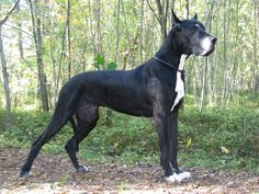 great dane dogs pictures | Selena — female, black, born at 2003, died at 2010-01-24 ...