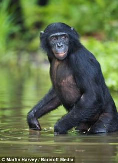 A bonobo chimp enters the water to cool off