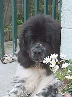 newfoundlands   About the Club - The Newfoundland Club of New Zealand