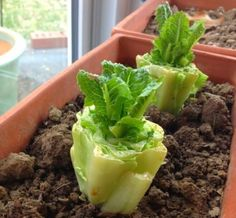 8 Vegetables That You Can Regrow Again And Again. Put romaine lettuce stumps in a inch of water. Re-water to keep water level at inch. After a few days, roots and new leaves will appear and you can transplant it into soil. Container Gardening, Gardening Tips, Indoor Gardening, Growing Veggies, Edible Garden, Edible Plants, Lawn And Garden, Garden Plants, Herb Plants