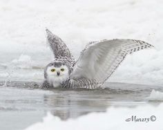 Bathing Snowy Owl in Lake Erie at Presque Isle State Park in Erie, PA. By Jimmy Marz