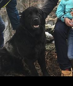10/18/17 Newfoundland Dog for adoption in Willingboro, New Jersey - Sailor