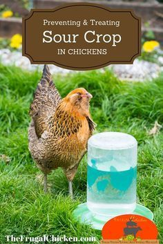 Preventing sour crop is much better than having to treat it. Keep this info on hand to keep your hens healthy. #backyardchickens #chickenhealth