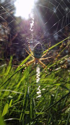 Spider, Křižák Pruhovaný