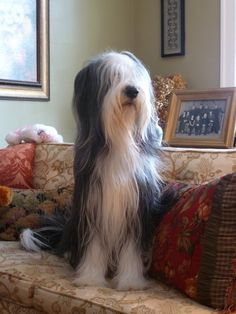Dexter | Bearded Collie | Flickr - Photo Sharing!
