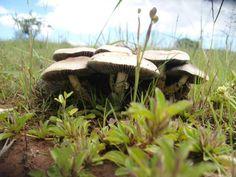 Psylocybe cubensis.
