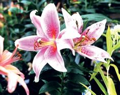 'Stargazer' Oriental #Lily – Sheridan Nurseries. For more details on this variety, click on the photo or visit us at: http://www.sheridannurseries.com/plant_product_view?PE0499