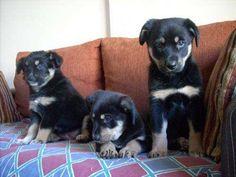 Regalo cachorritos cruza con border collie