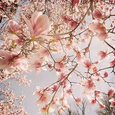 Pink Magnolia tree full of flowers