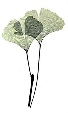 Ginkgo leaves X-rayography (image Albert Koetsier)