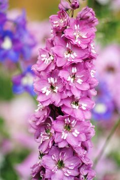 Delphiniums In A Pastel Bokeh...........Explore #190 | Flickr - Photo Sharing!