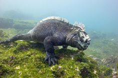 marine iguana | Marine Iguana Photograph