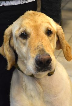 Bozworth-15-144 | M | 8 years — Golden Retriever Rescue of North Texas Golden Retriever Rescue, Labrador Retriever, Dog List, Dog Pictures, Texas, Puppies, Dogs, Labrador Retrievers, Chocolate Labradors
