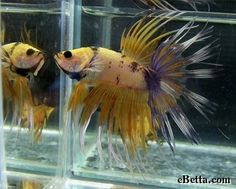 marble-crowntail-betta-fish