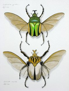 Goliath Beetles insect art print - Two life size giant beetles green gold white art