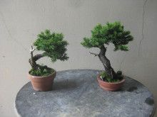 a spruce of Hachibo. Bonsai workshop of HaruYoshimi