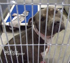 'Perfect' dog to die in shelter; can't be viewed by the public. Please share, pledge, or foster!!! He is a sweet guy and needs rescue now! A4886478 my name is Charger/Charlie. I am a very friendly 3 yr old male gray/white pit bull mix. I came to the shelter as a stray on Oct 10. available 10/14/15. located in bldg 4 - no public view!!! Baldwin Park, California https://www.facebook.com/photo.php?fbid=1045621885449648&set=a.705235432821630&type=3&theater&notif_t=comment_mention