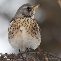 Gráþröstur - Fieldfare (Turdus pilaris)   Flickr - Photo Sharing!