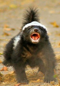 Top 10 (and Only) Reasons Why The Honey Badger Should Be Your Spirit Animal Nature Animals, Animals And Pets, Baby Animals, Funny Animals, Cute Animals, Wild Animals Pictures, Animal Pictures, Honey Badger Tattoo, Badger Images