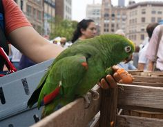 A lady was with her pet parrot while walking around at Union Square Greenmarket.   Parrots are believed to be one of the most intelligent bird species.