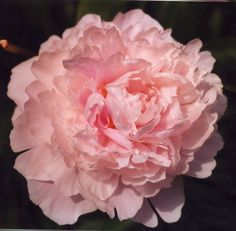 The action of peony flower essences is gentle and loving. Each variety remedy has its own way of working, but in general, they all work to harmonize