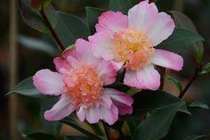 Camellia Choji Guruma