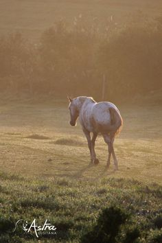 Doux matin Isadora d'Astra  Pouliche Iberian Warmblood Horses, Photos, Animals, Animaux, Animales, Horse, Animal, Dieren