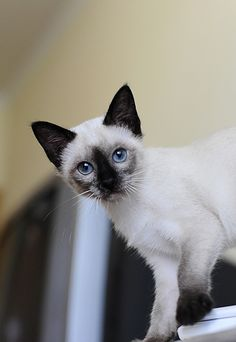 cute siamese kitten grows bigger