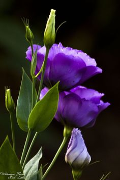 Lisianthus (Eustoma) one of my favorite flowers