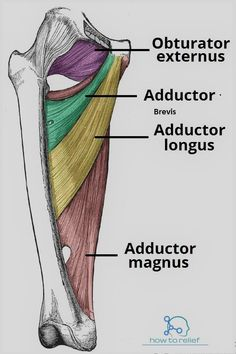 Adductor Brevis: Origin Insertion Action & Nerve Supply How To Relief Leg Anatomy, Gross Anatomy, Human Body Anatomy, Human Anatomy And Physiology, Muscle Anatomy, Anatomy Study, Anatomy Reference, Medicine Notes, Medicine Student