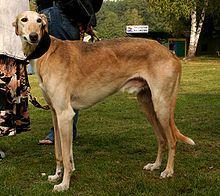 Polish Greyhound - A.k.a. Polish Sighthound, Chart Polski - Poland - Not a direct relative of the Greyhound - Polish sighthound