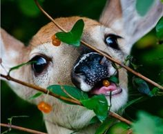 A deer eating yellow berries off of a bush.