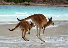 #austrália #viagem #trabalho #cangurus