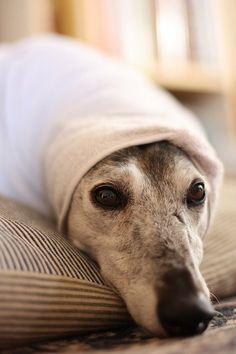 Greyhound.  Dressed as a burrito.