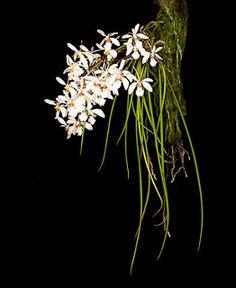 Holcoglossum wangii_4272