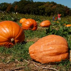 Giant Pumpkin Seeds, Squashes, Sweet Home Alabama, Organic Seeds, Edible Plants, Halloween Pumpkins, Halloween House, Landscaping Plants, Outdoor Plants