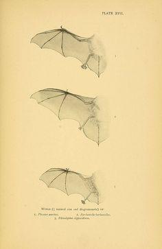 Bat Wing  A history of British mammals. v.1.  London :Gurney and Jackson,1910-1921.