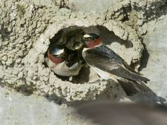Cliff swallows at nest