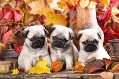 Autumn pug photo