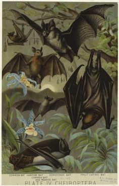 """Scientific illustration of Cheiroptera, an earlier spelling of the now accepted Chiroptera (from the Greek χείρ - cheir, """"hand"""" and πτερόν - pteron, """"wing""""). Pictured: common bat, vampire bat, horseshoe bat, fruit-eating bat, dog-headed bat."""