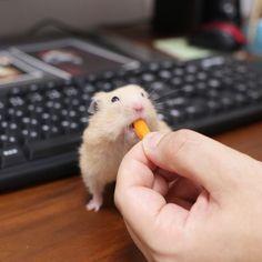 ポリポリポリ… * * #ナッパ#nappa#ゴールデンハムスター#ハムスター#キンクマ#小動物#かわいい#ふわもこ部#癒し#펫스타그램#life#instacute#instapet#family#goldenhamster#syrianhamster#hamster#hammy#happy_pets#pets_plaza#petscorner#pet#bestanimal#animal#adorable#awww#love#socute#cute#followme