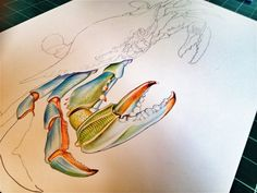 Progress pic 2 of my Blue Crab colored pencil drawing.  You can purchase prints of my work at https://www.etsy.com/shop/TimJeffsArt