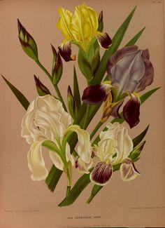 Iris germanica - circa 1881